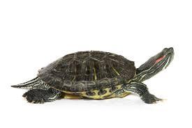 turtles of missouri missouri u0027s natural heritage