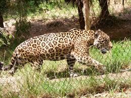 jaguar jaguar whozoo