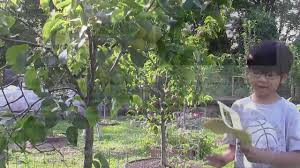 shinseiki growing asian pear in your own backyard part 3