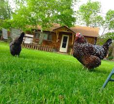 Backyard Chickens Com by Lessons I U0027ve Learned After Five Years Of Chicken Raising