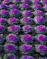 261 best ruffled ornamental kale images on cabbages