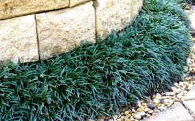 buy mondo grass for sale from wilson bros gardens