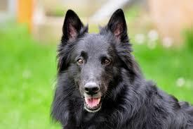 belgian sheepdog origin belgian sheepdog dog breed gallery