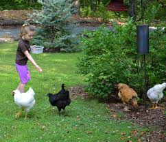 backyard chickens in yorktown ny home facebook