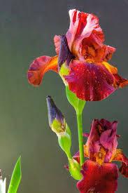 Iris by 25 Best Irises Ideas On Pinterest Iris Flowers Iris And