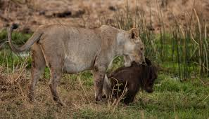 wide eyed primates and wild warthogs u2013 national geographic society