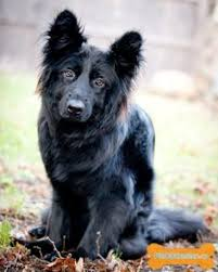 belgian sheepdog mixed with border collie wolfcub at the beach dripping water belgiansheepdog
