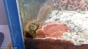 bobbit worm emerges from rock after hiding in man u0027s fish tank for