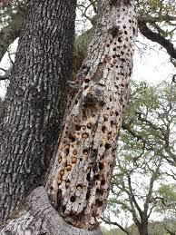 animals are storing acorns in the holes that woodpeckers made in