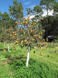 garden design garden design with fire crystal persimmon tree with