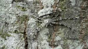 spider tree pandercetes camouflage venomous insects