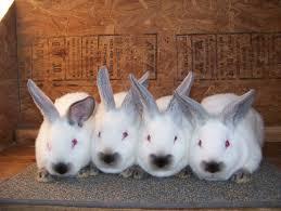 meat pen rabbits for sale champion californian rabbits