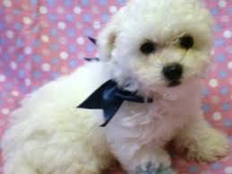 bichon frise dog breeders bichon frise breed information u0026 pictures tenerife dog bichon