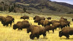 Wyoming wild animals images Wyoming tag wallpapers standing national wyoming yellowstone park jpg