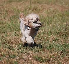affenpinscher brussels griffon rescue brussels griffon archives national purebred dog day