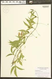 plants native to alabama passiflora incarnata species page apa alabama plant atlas