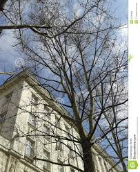 maple tree without leaves in front of the three story house under
