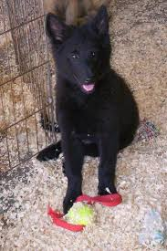 belgian sheepdog guard dog 272 best shadows board dogs images on pinterest belgian shepherd