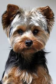 43 best yorkies haircuts images on pinterest yorkies dog