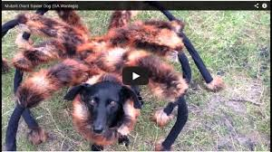 little dog in giant spider costume freaks people out in the