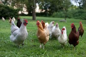 farm animals as pets pethelpful