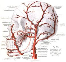 Google Body Anatomy Arteries On The Skull Google Search Inner Body Works