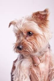 yorkie hair cut chart basic haircuts for yorkie terrier dogs cuteness