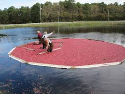cape cod cranberry harvest harwich remains the best the