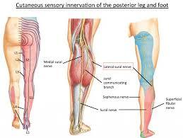Foot Anatomy Nerves Nerves In The Knee Anatomy Nerves In The Knee Anatomy Human