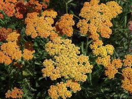 plante vivace soleil plantes à massif et bordures de soleil flosab com