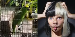 Chandelier Sia Music Video by Parrot Sings Sia U0027s U0027chandelier U0027 In Viral Facebook Video