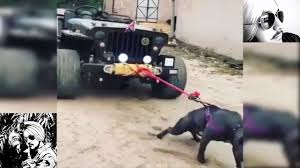landi jeep with bullet mahindra jeep pulled by crazy pitbull dog mind blowing youtube