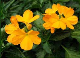 All Year Flowering Shrubs - crossandra infundibuliformis this shrub blooms almost all year