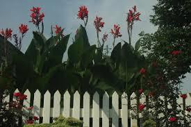 Canna Lilies Canna Lilies Care U0026 Winterization