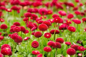 red rose flower garden greatindex net carpet idolza