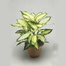 decorative indoor plants decorative indoor plant at rs 80 per plant indoor plants
