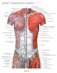 Human Anatomy Muscle Anatomy Of Body Human Anatomy Hd Wallpaper Fullhdwpp Full Hd