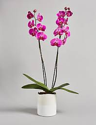 flower orchid orchids orchid flowers plants phalaenopsis orchid m s