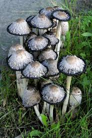 292 best mycology images on pinterest mushroom fungi plants and