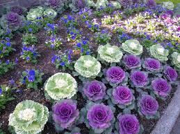 im in the garden today october for cool weather displays kale is
