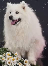 american eskimo dog food american eskimo dogs advice you can trust