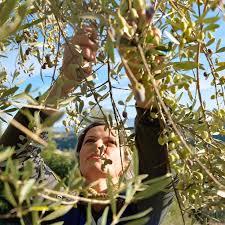 118 best an olive tree images on olive tree olives