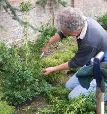 English Box Topiary - care u0026 maintenance topiary arts