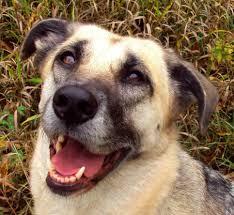 belgian shepherd vs husky ottawa valley dog whisperer ottawa puppy training in your home