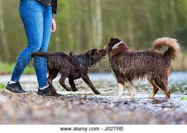 australian shepherd lab puppy young woman with an australian shepherd and a labrador puppy at
