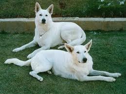 australian shepherd for sale california best 25 white shepherd ideas only on pinterest white dogs pets