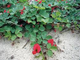 south australian native plants 5 plants to brighten your garden good living