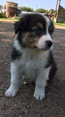 australian shepherd akc view ad australian shepherd puppy for sale minnesota