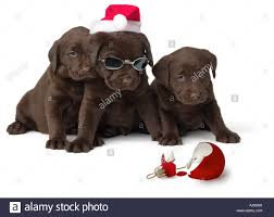 chocolate lab puppies with broken ornament stock photo