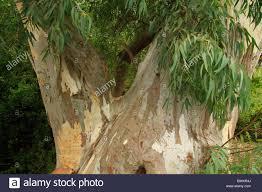 israel menashe heights eucalyptus tree in nahal shelef stock